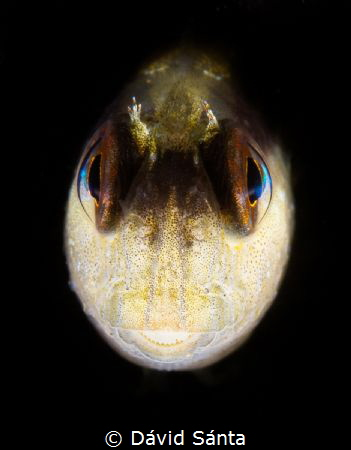 I spotted this little blenny looking strait at me from a ... by Dávid Sánta
