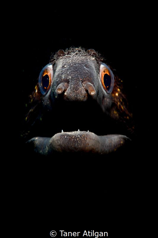 Snooted moray eel from Bodrum/Turkey by Taner Atilgan