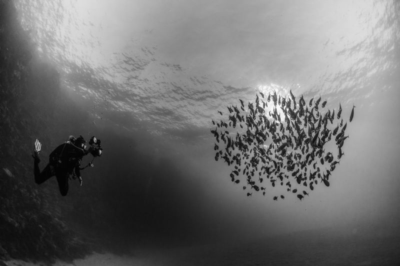 Indian Mackerel school & diver by Paul Colley