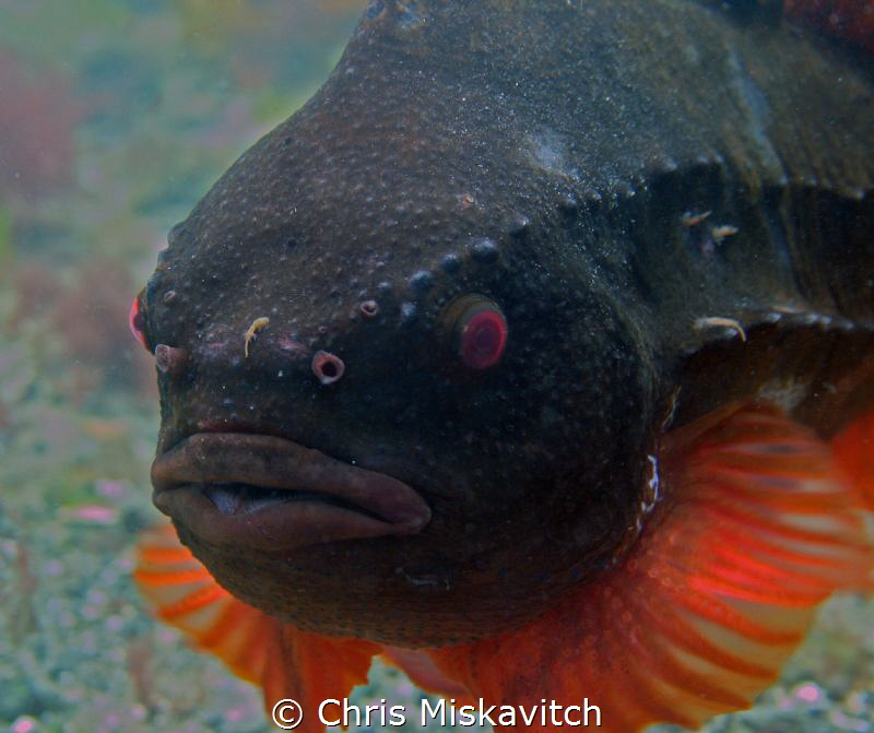 Lump Fish of the coast off New England by Chris Miskavitch