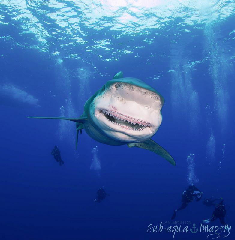 The thankful smile of an Oceanic White Tip female shark. ... by Jan Morton