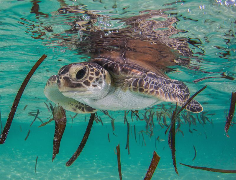 Turtle Grass study by Steven Miller