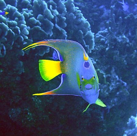 Queen Angelfish - Glovers Atoll, Belize by George Smorse
