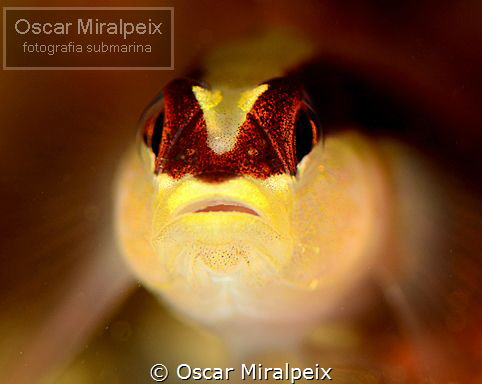 goby close up by Oscar Miralpeix