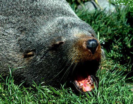 Nz fur seal, kaikoura, new zealand. by Jayne Dennis