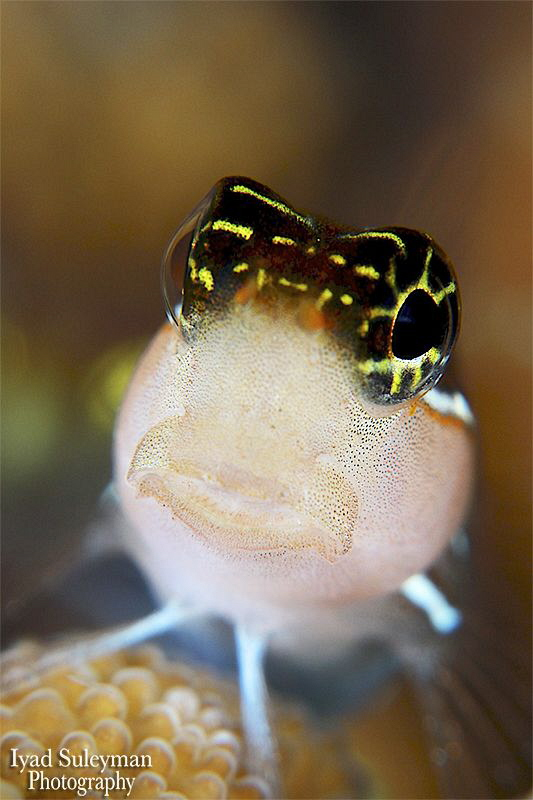 Blenny from the Philippines by Iyad Suleyman