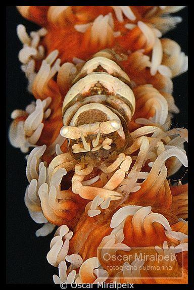 whipcoral shrimp by Oscar Miralpeix
