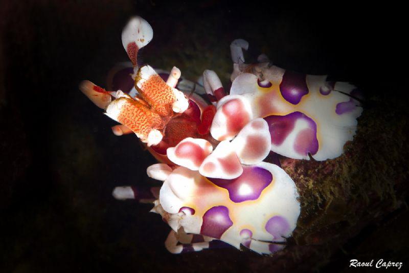 Arelquin shrimp by Raoul Caprez