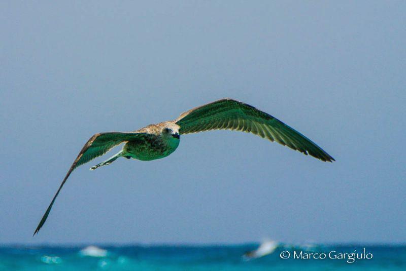 Seagull by Marco Gargiulo