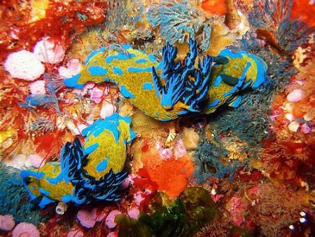 Two tambja nudibranches in the Poor Knights by Dawn Watson