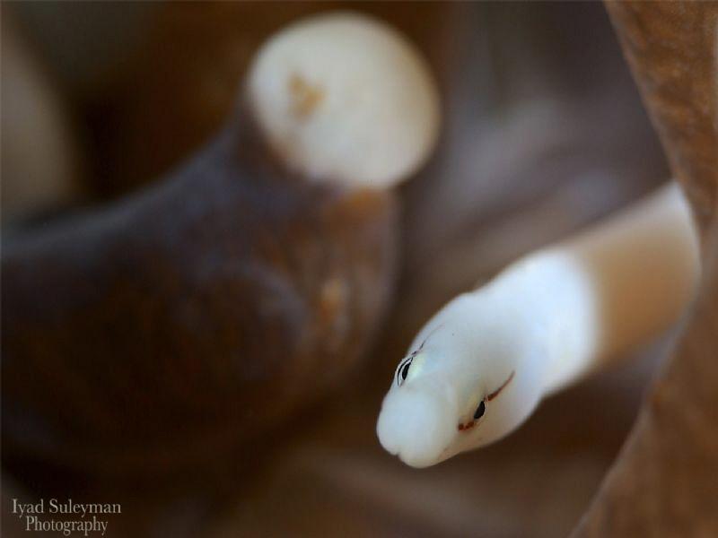 Mushroom-Coral Pipefish by Iyad Suleyman