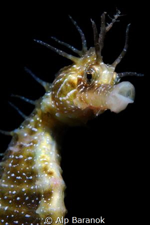 Seahorse with a skeleton shrimp on the head by Alp Baranok