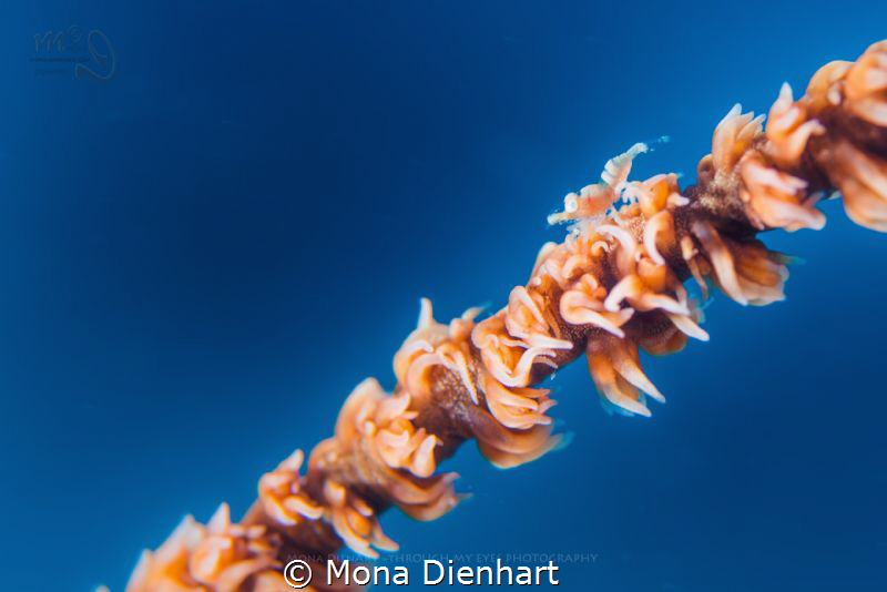a real tiny shrimp on a whip coral by Mona Dienhart