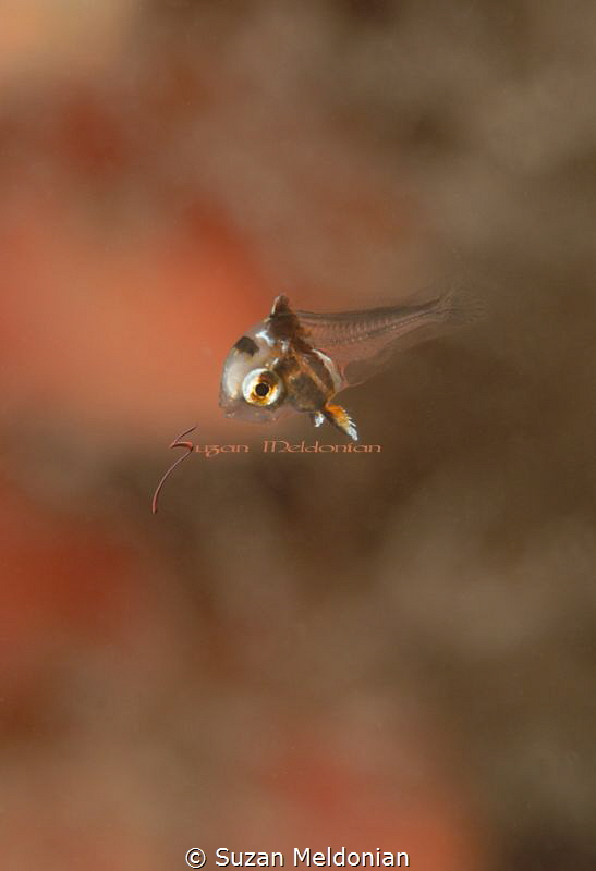 Just born, damsel fish juveniles by Suzan Meldonian