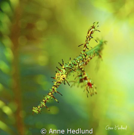 Ornate ghost pipefish by Anne Hedlund
