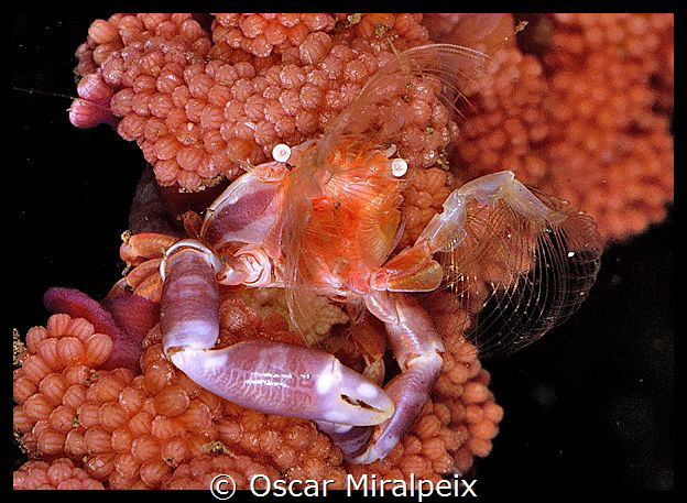 softcoral crab eating by Oscar Miralpeix