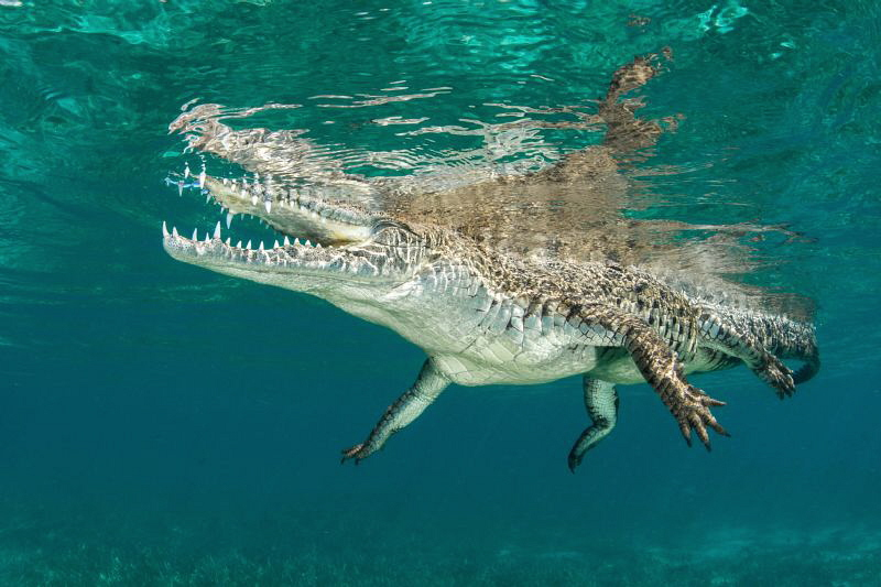 Saltwater crocodile by Paul Colley