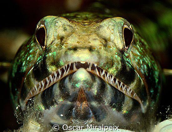 lizardfish portrait by Oscar Miralpeix