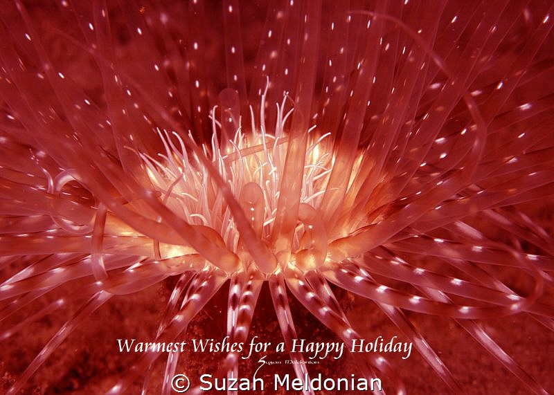 Happy holidays, anemone shot with red filter, and back li... by Suzan Meldonian