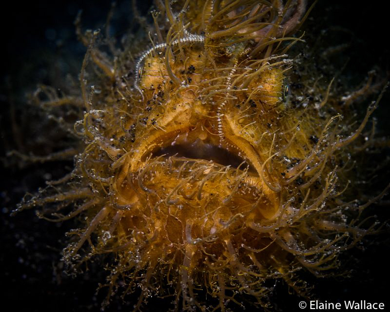 Lembeh hairy frog fish or one of my childhood nightmares! by Elaine Wallace