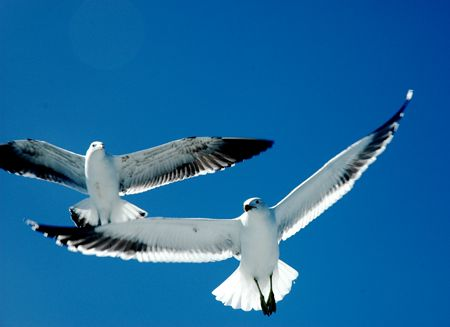 Gull in flight, Kaifoura coast, New Zealand... by Jayne Dennis