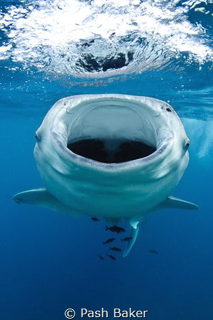Juvenile whaleshark feeding at the surface in Djibouti.  ... by Pash Baker