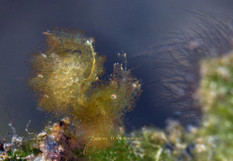 Hairy Shrimp with Eggs by Suzan Meldonian