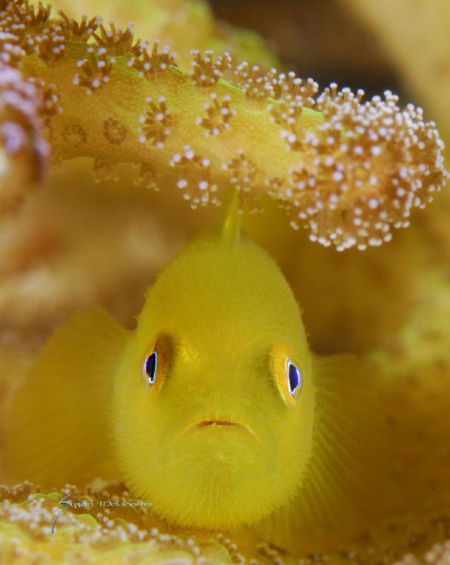 Hairy Goby by Suzan Meldonian