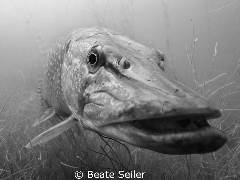 Northern pike S/W by Beate Seiler