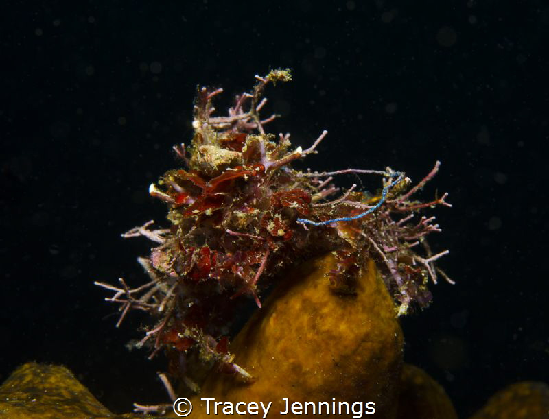 Bad hair day - decorator crab in the Philippines by Tracey Jennings