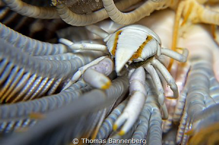 feather star squat lobster