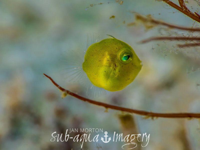 Very rare Juvenile Diamond Filefish. Taken at super macro... by Jan Morton