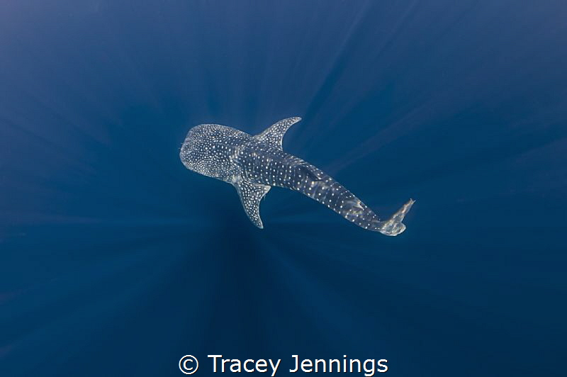 Swimming in the blue with whale sharks by Tracey Jennings