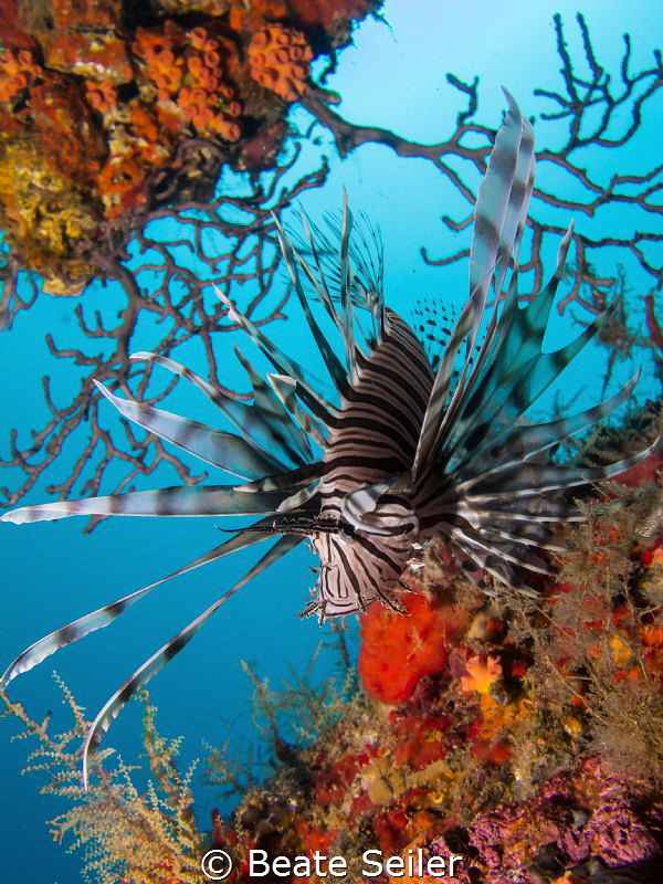 Lionfish at a ship wreck by Beate Seiler
