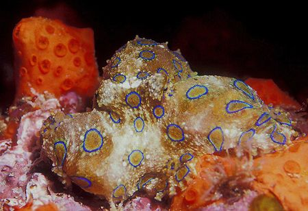 Blue ring octopuss. It was our last dive in PNG and my bo... by Raul Rodriguez