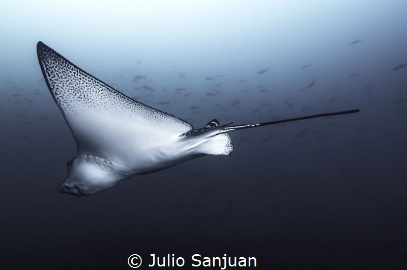 Ray eagle by Julio Sanjuan
