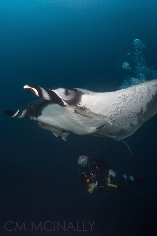 """""""Bubble Job"""" These resident giant mantas seek out divers ... by Craig Mcinally"""
