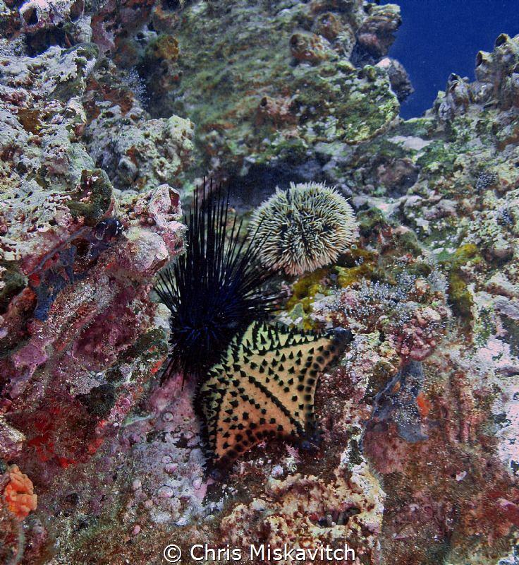 Sea Urchins and starfish, Galapagos..... by Chris Miskavitch