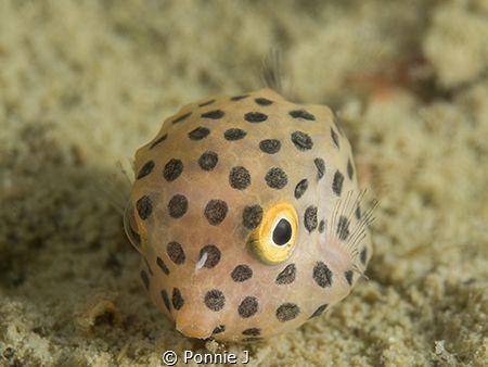 Juvenile boxfish by Ponnie J
