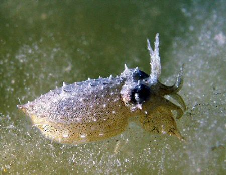 Tiny cuttlefish, just the size of a pea playing on the al... by Rob Spray