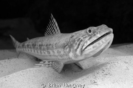Lizard fish on the sand, I had a strobe malfunction so lo... by Brian Heagney