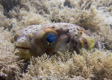 """Little puffer fish? with """"cosmo"""" eyes  by Mark Sagovac"""