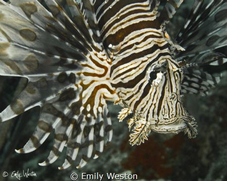 Lionfish Portrait by Emily Weston