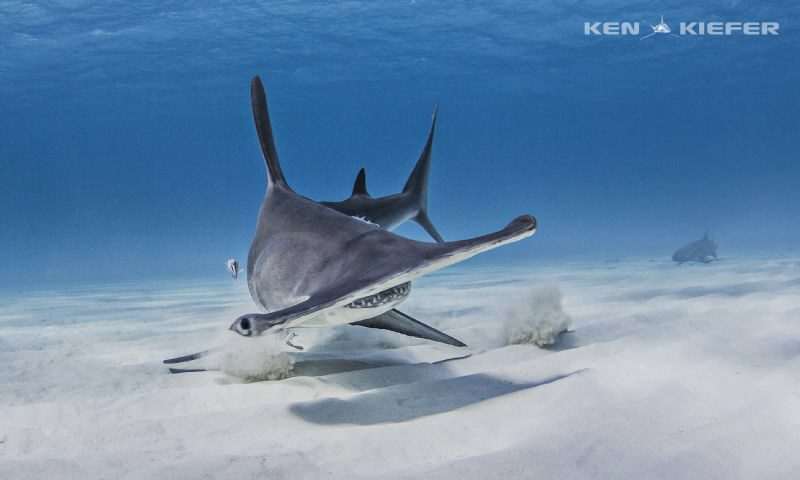 Hammer after grabbing a fish head from the sand. by Ken Kiefer
