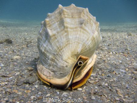 Helmet Conch by Mark Sagovac