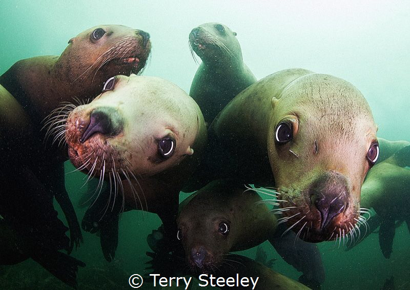 'Mobbed by inquisitive steller sea-lions' Steller sea-li... by Terry Steeley