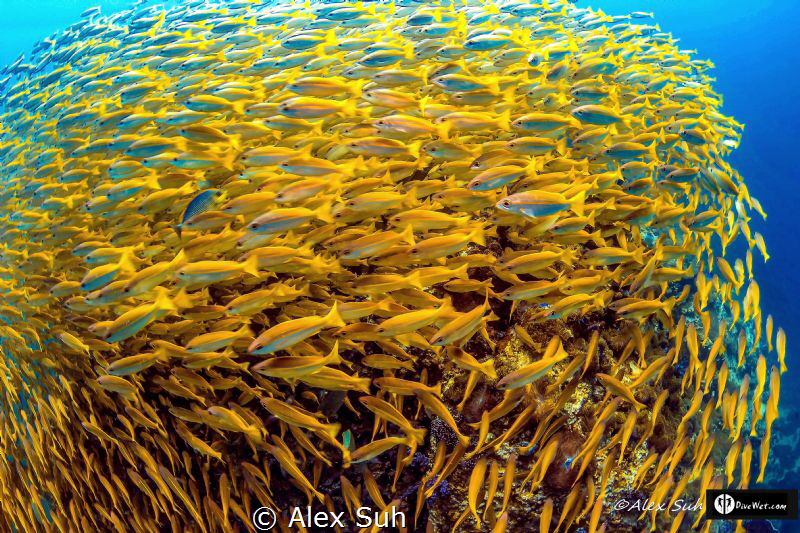 Ball of Yellow Snappers by Alex Suh