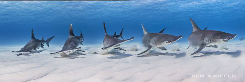 Hammerhead sees bait; eats bait; and then seems pretty ha... by Ken Kiefer