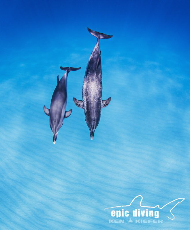Floating on blue air.  Mother and calf Spotted Dolphin en... by Ken Kiefer