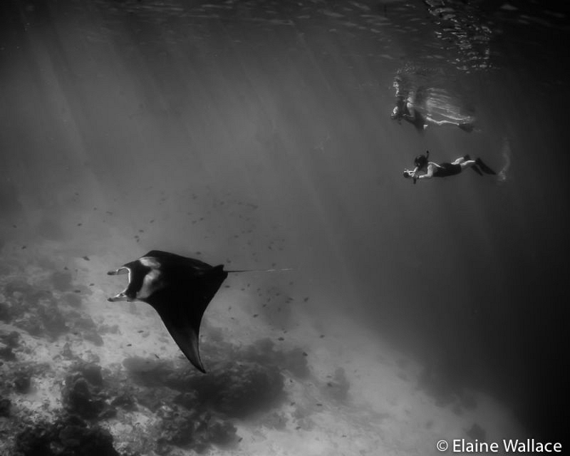 Keep up if you can!  A bonus manta encounter between dives. by Elaine Wallace
